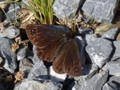 Satyridae: Erebia lefebvrei