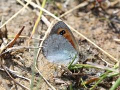 Satyridae: Erebia rondoui