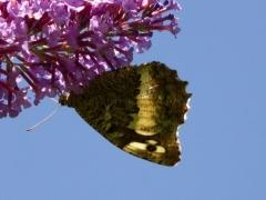 Satyridae: Brintesia circe