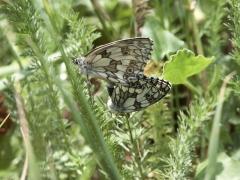 Satyridae: Melanargia galathea