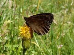 Satyridae: Erebia manto