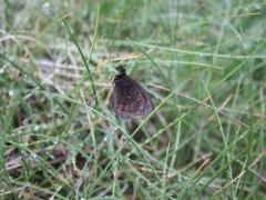 Satyridae: Erebia gorgone