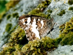 Satyridae: Brintesia circe