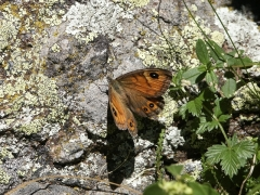 Satyridae: Lasiommata maera