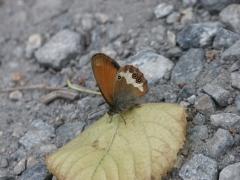 Satyridae: Coenonympha arcania