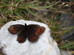 Satyridae: Erebia meolans