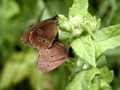 Satyridae: Aphantopus hyperantus