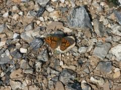 Satyridae: Lasiommata magera