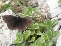Satyridae: Erebia cassioides