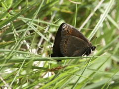Satyridae: Erebia oeme