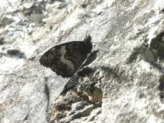 Satyridae: Hipparchia alcyone