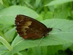 Satyridae: Erebia euryale