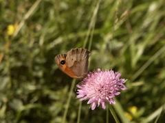 Satyridae: Maniola jurtina