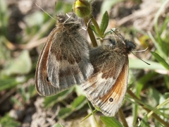 Satyridae: Coenonympha pamphilus