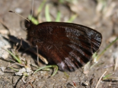 Satyridae: Erebia pronoe