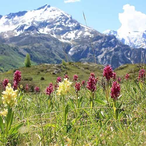 Dactylorhiza sambucina Gèdre Hautes Pyrenees