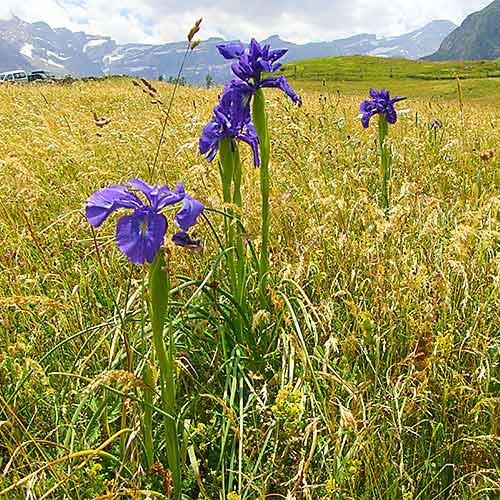 Pyrenees iris xiphiodes