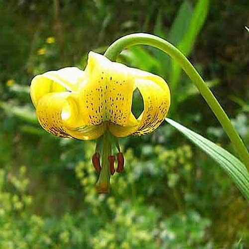 Pyrenees Turk's Head Lily lilium pyrenaicum