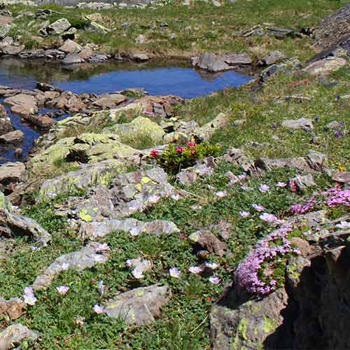 Pyrenees_Spring flowers Montferrat Gavarnie
