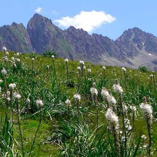 Asphodel Pyrenees